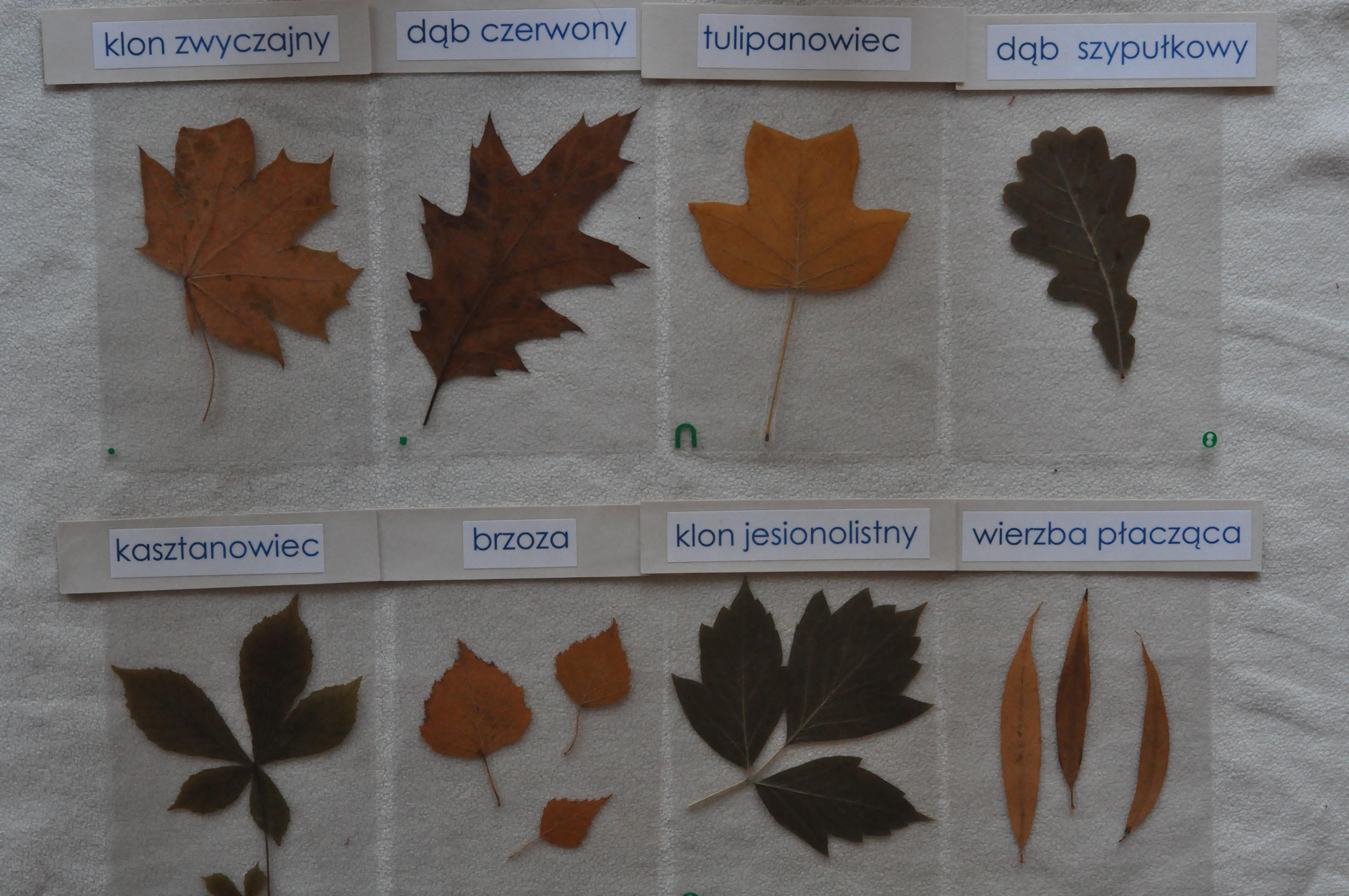Zalaminowane liście drzew